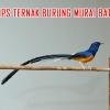 Cara Mudah Beternak Burung Murai Batu