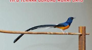panduan ternak burung murai batu 360x195 » Cara Mudah Beternak Burung Murai Batu