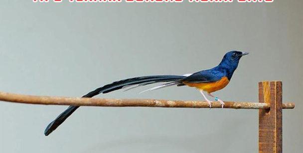 panduan ternak burung murai batu 608x308 » Cara Mudah Beternak Burung Murai Batu