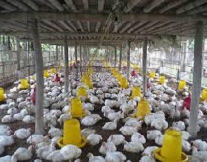 panduan sukses usaha ayam potong 415x325 » Tips Sukses Usaha Ayam Potong