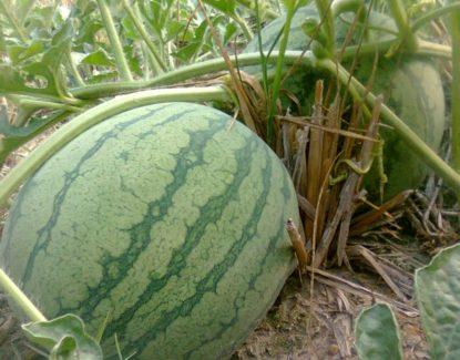budidaya semangka untuk pemula 415x325 » Cara Mudah Budidaya Semangka Untuk Pemula