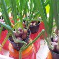 panduan budidaya bawang merah dengan media tanam pot 120x120 » Cara Budidaya Bawang Merah di Pot Untuk Pemula
