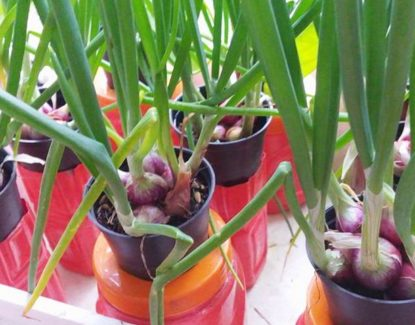 panduan budidaya bawang merah dengan media tanam pot 415x325 » Cara Budidaya Bawang Merah di Pot Untuk Pemula