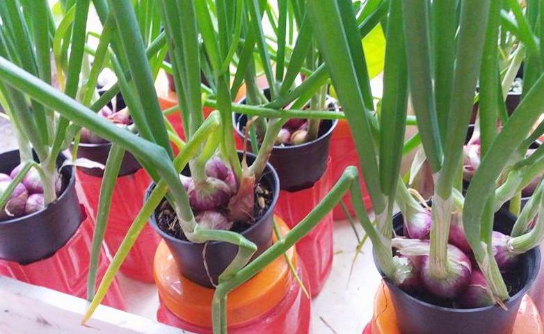 panduan budidaya bawang merah dengan media tanam pot » Cara Budidaya Bawang Merah di Pot Untuk Pemula