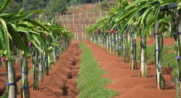 panduan budidaya buah naga 360x195 » Cara Mudah Budidaya Buah Naga Agar Cepat Berbuah