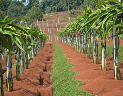 panduan budidaya buah naga 415x325 » Cara Mudah Budidaya Buah Naga Agar Cepat Berbuah