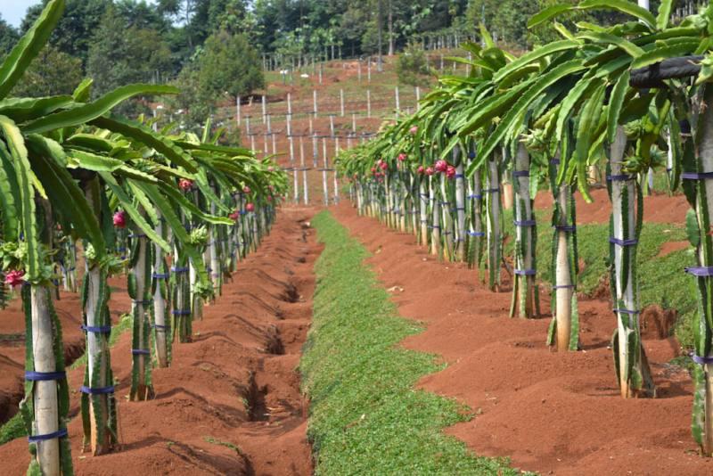panduan budidaya buah naga » Cara Mudah Budidaya Buah Naga Agar Cepat Berbuah