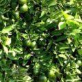 panduan budidaya jeruk nipis 120x120 » Cara Mudah Budidaya Jeruk Nipis Agar Cepat Berbuah