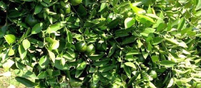 panduan budidaya jeruk nipis 700x308 » Cara Mudah Budidaya Jeruk Nipis Agar Cepat Berbuah