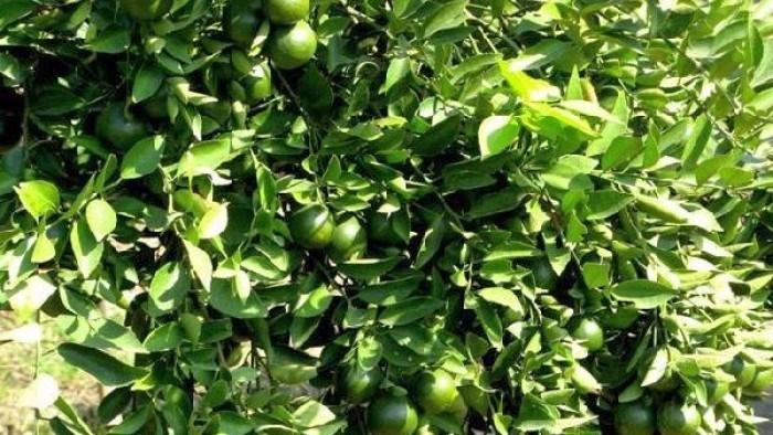 panduan budidaya jeruk nipis » Cara Mudah Budidaya Jeruk Nipis Agar Cepat Berbuah