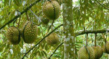 sukses budidaya durian bagaimana caranya 360x195 » Cara  Mudah Budidaya Durian Agar Panen Berlimpah