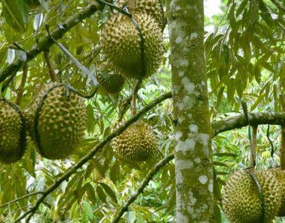 sukses budidaya durian bagaimana caranya 415x325 » Cara  Mudah Budidaya Durian Agar Panen Berlimpah