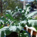 tips budidaya brokoli dengan media pot 120x120 » Cara Mudah Budidaya Brokoli di Dalam Pot