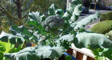 tips budidaya brokoli dengan media pot 360x195 » Cara Mudah Budidaya Brokoli di Dalam Pot