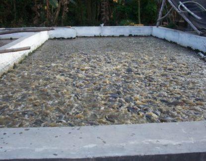 tips budidaya ikan patin pada kolam tembok 415x325 » Cara Budidaya Ikan Patin di Kolam Tembok Untuk Pemula