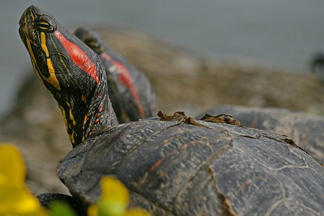 tips budidaya kura kura brazil » Cara Mudah Budidaya Kura - kura Brazil Untuk Pemula